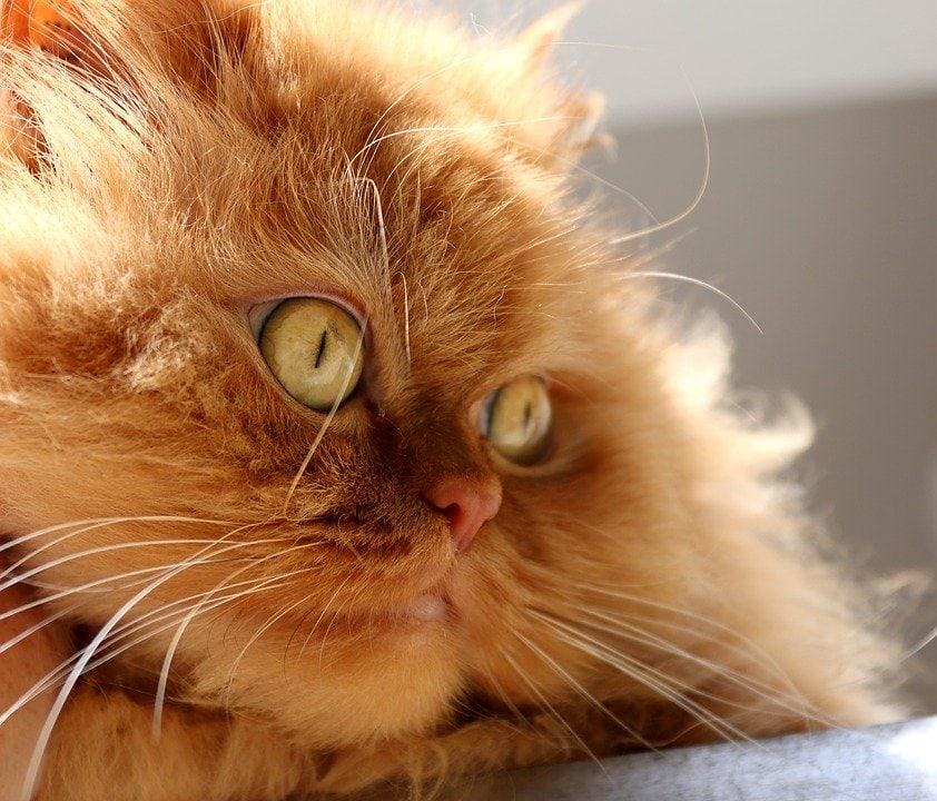 altra razza colpita da cardiomiopatia ipertrofica del gatto