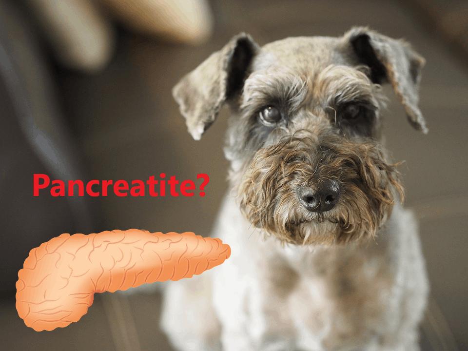 Pancreatite nel cane e nel gatto: parla lo specialista!
