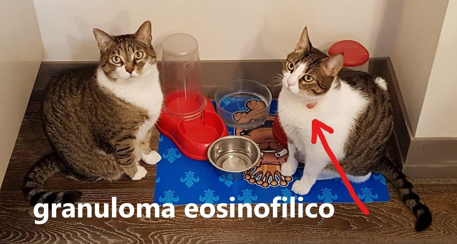 Granuloma eosinofilico nel gatto: sintomi e cura!