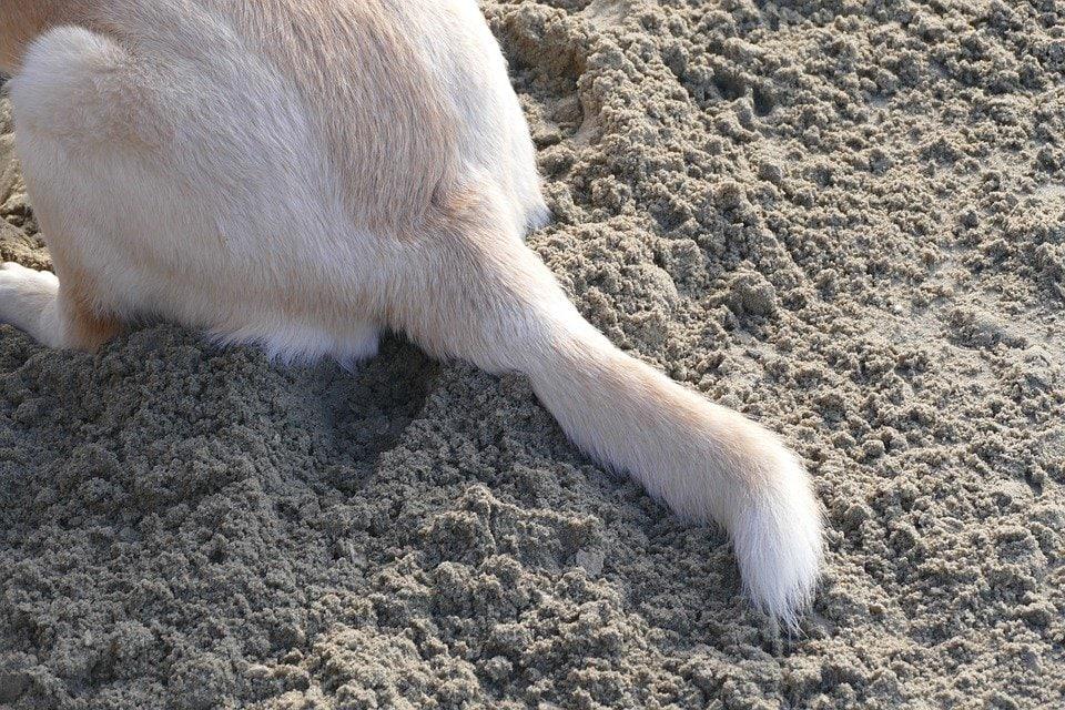 Coda morta nel cane? Si chiama Cold Tail Syndrome!