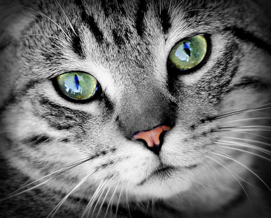 peritonite infettiva felina