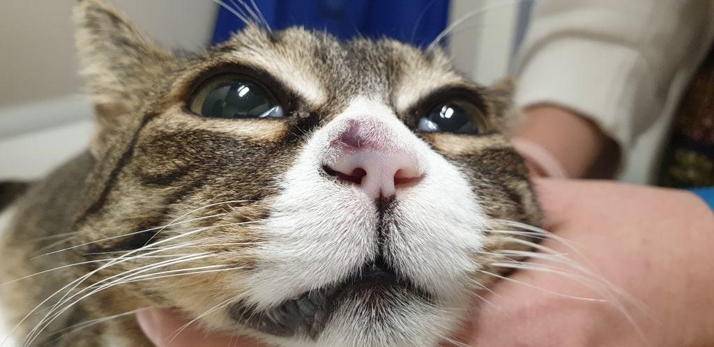 emangiosarcoma gatto
