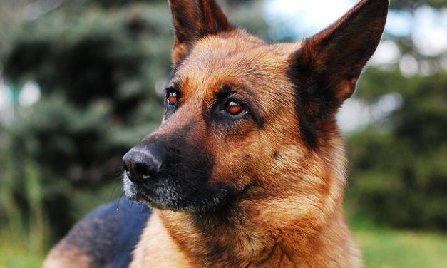 Emangiosarcoma nel cane: le cose da sapere.