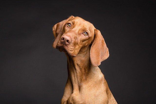 versamento pleurico nel cane