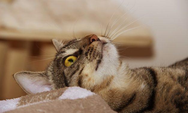 Acne felina: i punti neri del gatto!