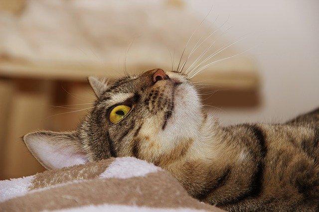 acne felina