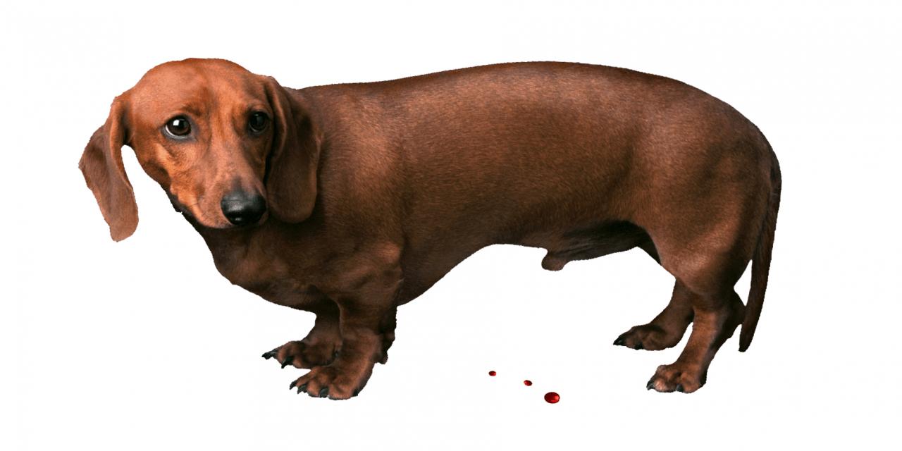 Prostatite nel cane: attenzione alle gocce di sangue.
