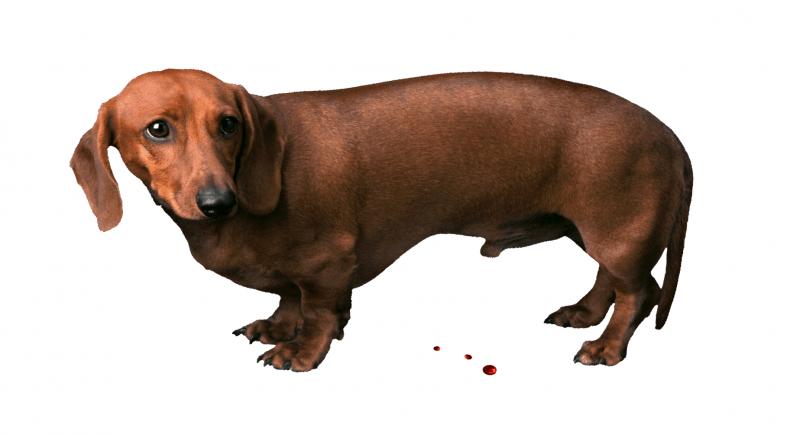 Prostatite nel cane