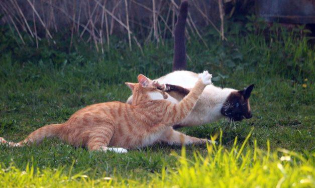 FIV nel gatto: il virus dell'immunodeficienza felina.