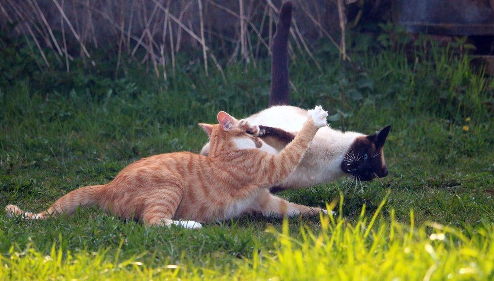 FIV nel gatto