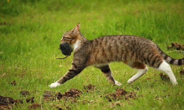 Toxoplasmosi nel gatto e donne in gravidanza.