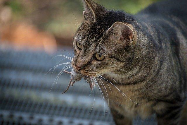 toxoplasmosi nel gatto