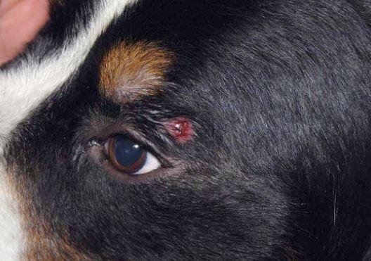 istiocitoma nel cane