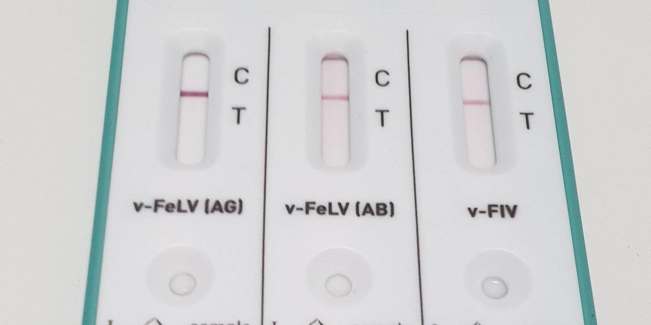 Test FIV FeLV nel gatto: come interpretare i risultati.