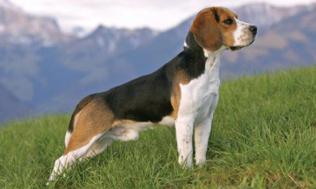 Patologie del pene del cane: priapismo, parafimosi, balanospostite.