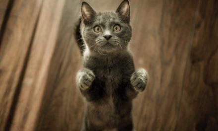 Castrazione del gatto maschio: quando e perchè!