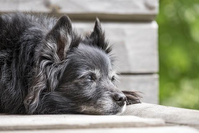 edema polmonare nel cane