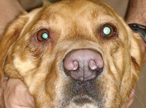 Sindrome di Horner nel cane e nel gatto: sintomi e cura.