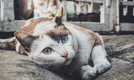 Linfoma nel gatto: è possibile la guarigione?