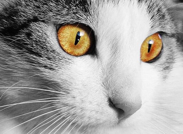 Uveite nel gatto: sintomi, cura e prognosi.