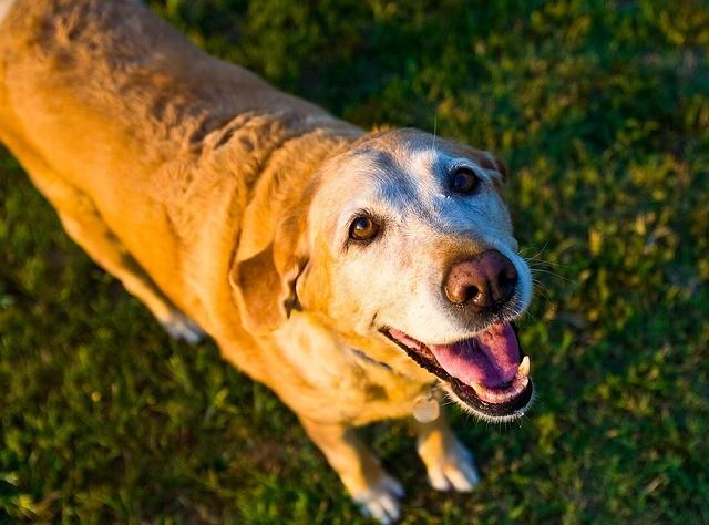 Demenza senile nel cane: Alzheimer anche per loro?
