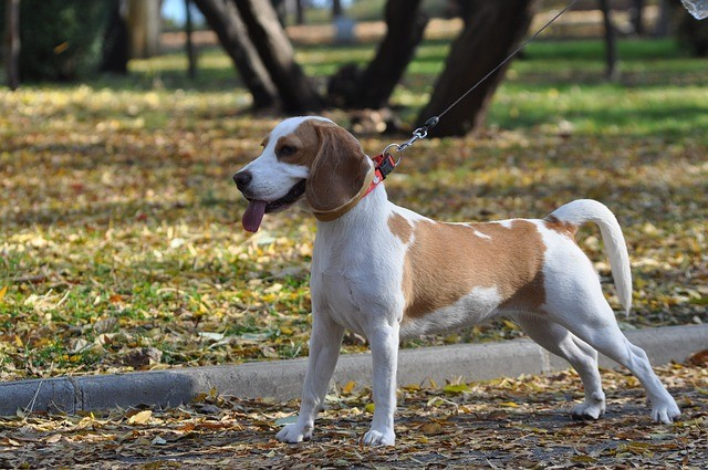 ernia cervicale cane