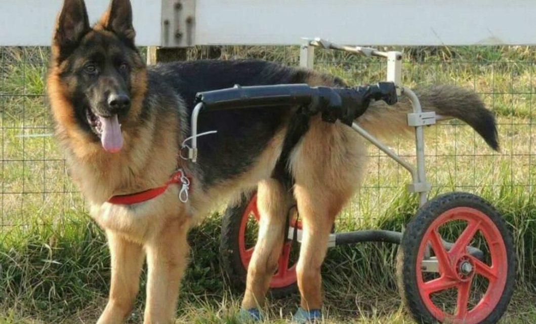 Carrellino per cane disabile: come si usa.