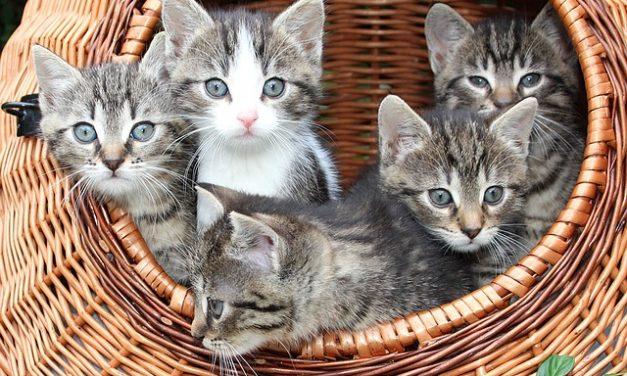 Tritrichomonas foetus nel gatto: sintomi e terapia