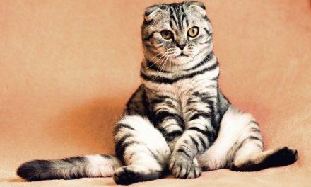 Sindrome di Conn nel gatto: l' iperaldosteronismo