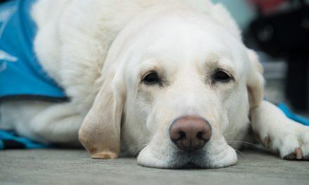 Chilotorace nel cane e nel gatto: cause e sintomi