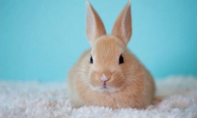 Coniglio nano: giochi, gabbia e alimentazione