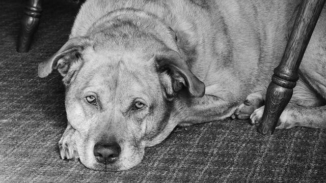 Chetoacidosi diabetica nel cane e nel gatto
