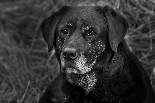 chetoacidosi diabetica nel cane