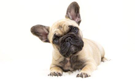 Head bobbing nel cane: la sindrome della testa tremula