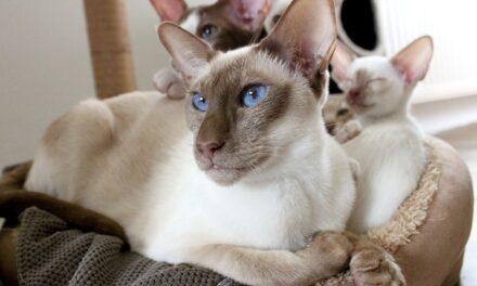 Tumore mammario nella gatta: diagnosi e prognosi.
