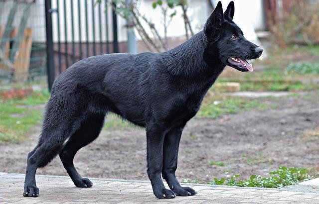pastore tedesco nero