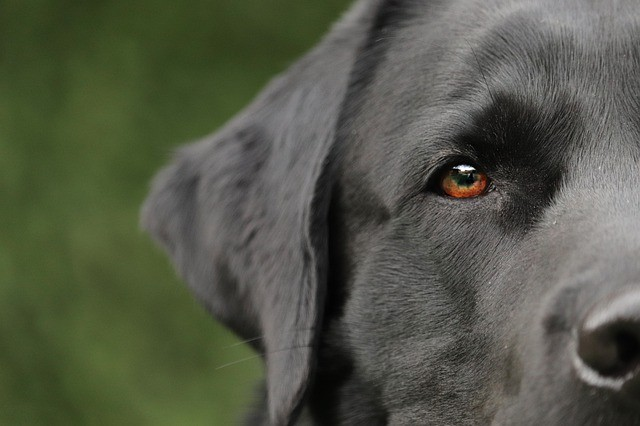 Labrador Retriever: colore, carattere e patologie
