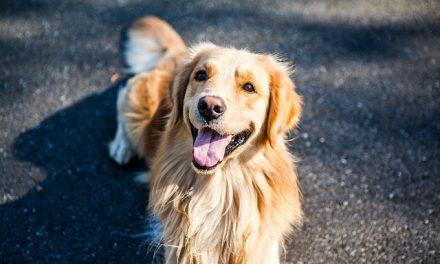 Golden Retriever: il cane d'oro.
