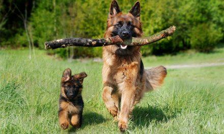 Pastore Tedesco: il cane più famoso al mondo